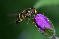 La mosca sentada en el brote Imagen de archivo