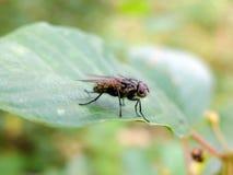 La mosca si siede su una foglia Fotografie Stock Libere da Diritti