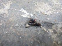 La mosca sta accoppiandosi fotografia stock libera da diritti