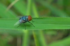 La mosca sta appollaiandosi sul foglio verde Immagini Stock Libere da Diritti