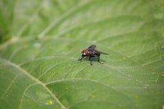 La mosca sulla macro verde della foglia Fotografia Stock
