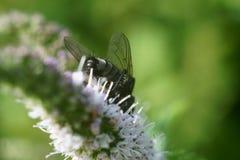 La mosca sulla menta dell'inflorescenza immagini stock