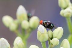 La mosca verde de la botella en la flor Imagen de archivo libre de regalías