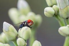 La mosca verde de la botella en la flor Foto de archivo libre de regalías