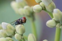 La mosca verde de la botella en la flor Fotos de archivo libres de regalías
