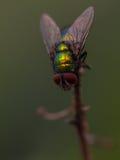 La mosca verde está en el top Imagen de archivo libre de regalías