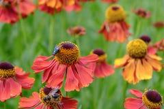 La mosca y la abeja verdes de la botella en helenium florece Foto de archivo libre de regalías