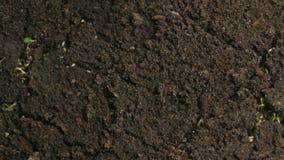 La mostaza verde creciente planta la primavera Timelapse de la agricultura metrajes