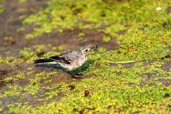 La motacilla o il Motacilla bianca giovanile alba mangia il botfly Fotografie Stock