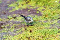 La motacilla o il Motacilla bianca giovanile alba mangia il botfly Fotografia Stock