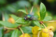 la mouche avec beaucoup de couleurs pose dans la nature Photographie stock libre de droits