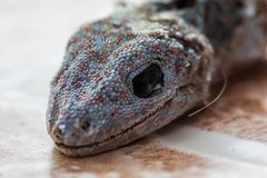 La mouche de Chambre sur la t?te du gecko est morte et peau s?che images libres de droits