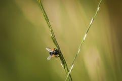 La mouche de midi Image libre de droits