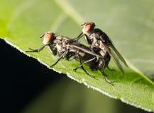 La mouche font l'amour fin Image stock