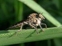 La mouche géante (une mouche de voleur géante) Photographie stock