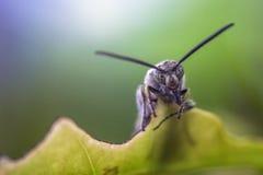 La mouche noire de soldat sur une feuille avec le visage effrayant, rentré doucement centre et a brouillé du fond coloré Photographie stock