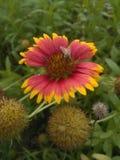 La mouche sélectionnent le pollen la fleur Image stock