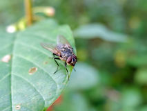 La mouche se repose sur la feuille Image libre de droits