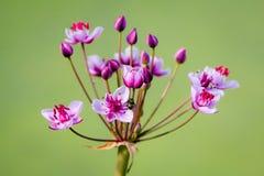 La mouche sur un marais fleurit Images libres de droits