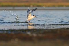 La mouette a émergé de l'eau avec les ailes répandues Photos libres de droits