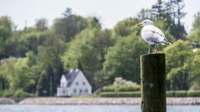 La mouette était perché sur un poteau en bois, regardant fixement au-dessus de l'eau Photographie stock libre de droits