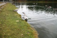 La mouette agite ses ailes dans l'eau du lac en parc photo stock