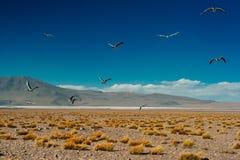 La mouette andine est des espèces de mouette dans le Laridae de famille images stock