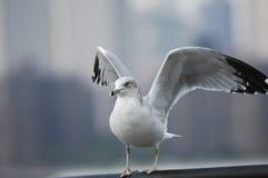 La mouette avec des ailes s'ouvrent Images stock