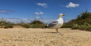 La mouette d'harengs européenne sur l'Etretat Photos stock
