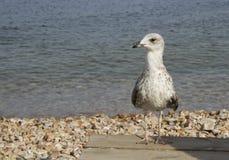 La mouette dans la vieille planche en bois avec la mer et pierres sur le b Image stock