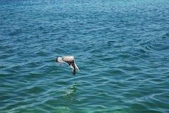 La mouette de ‹d'†de ‹d'†de mer vole image libre de droits