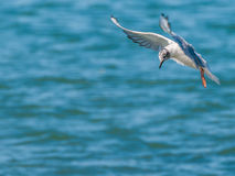 La mouette de Bonaparte Photo stock
