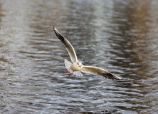 La mouette de Bonaparte en Elgin. Photos stock