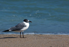 La mouette de Franklin Images libres de droits