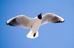 La mouette en vol Photo libre de droits