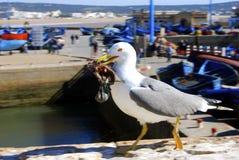 La mouette mange des poissons Photo libre de droits