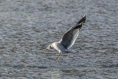 La mouette plane au-dessus de l'eau photographie stock libre de droits