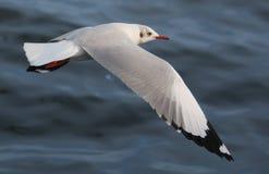La mouette plane au-dessus de l'océan Images stock