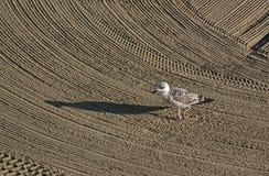 La mouette seule a dessus nettoyé par un sable de tracteur sur le méditerranéen Images libres de droits