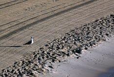 La mouette seule a dessus nettoyé par un sable de tracteur sur le méditerranéen Photos libres de droits