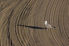 La mouette seule a dessus nettoyé par un sable de tracteur sur le méditerranéen Photographie stock libre de droits