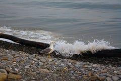 La mouette sur le rivage sur une mer de soirée de fond ondule Image stock