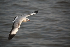 La mouette vole sur l'océan Photo libre de droits