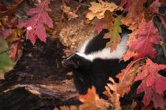 La mouffette rayée (mephitis de Mephitis) regarde à gauche d'Autumn Log images libres de droits