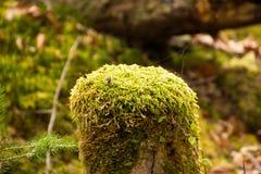 La mousse étant couvert tige dans la forêt colorée Photos stock