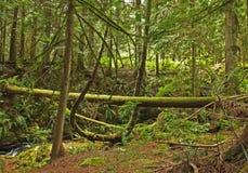 La mousse a couvert des arbres dans la forêt tropicale tempérée photo stock