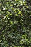 La mousse a couvert des branches étant pesées vers le bas Images stock