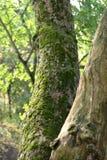 La mousse a couvert l'arbre Image stock