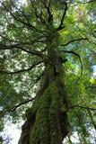 La mousse a couvert l'auvent d'arbre forestier Photo stock