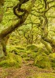 La mousse a couvert le plancher de forêt dedans parmi les arbres tordus à la gorge de padley photographie stock libre de droits